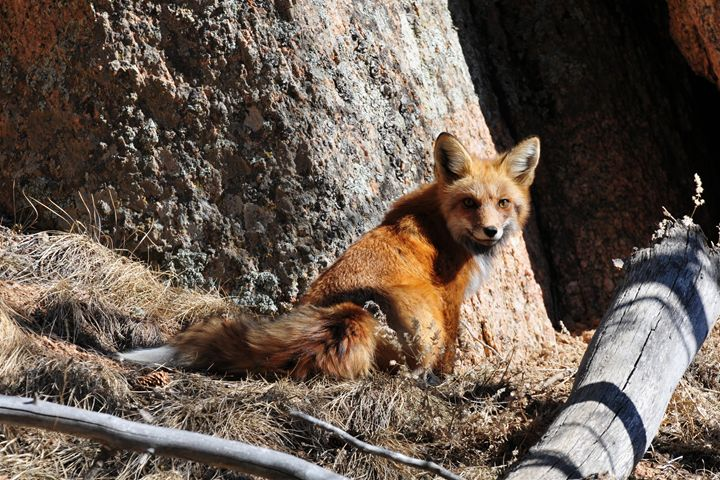 Red Fox at Den - Marilyn Burton Photography