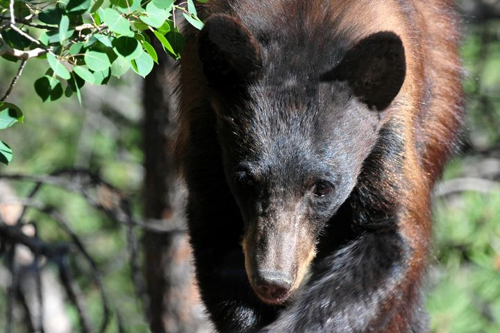 Black Bear - Being Persistent - Marilyn Burton Photography