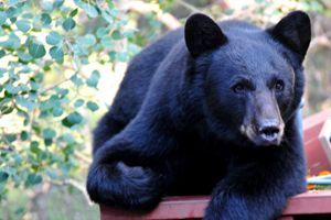 Black Bear - Lazy Days