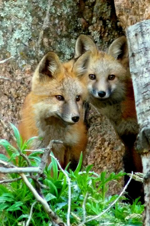 Red Fox Kits - Portrait - Marilyn Burton Photography