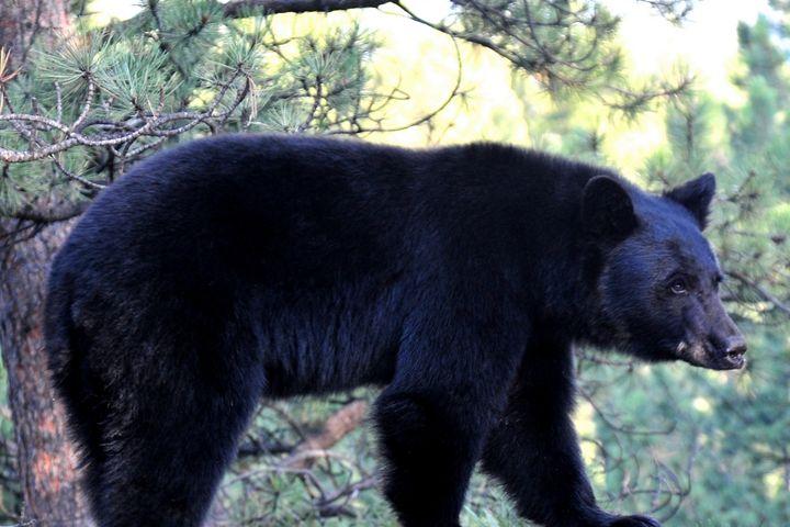 Black Bear - Marilyn Burton Photography