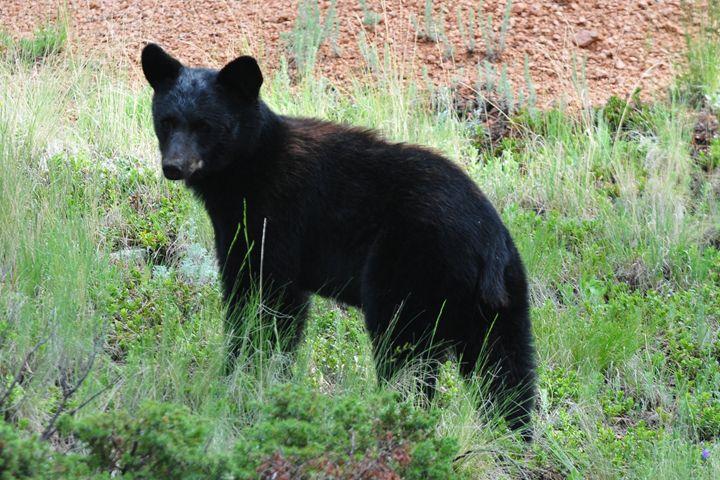 Young Black Bear - Marilyn Burton Photography