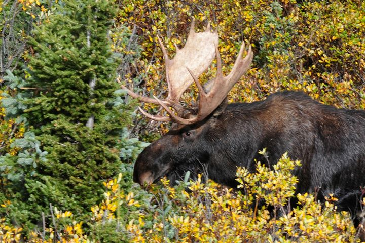 Moose Emerging From the Forest - Marilyn Burton Photography