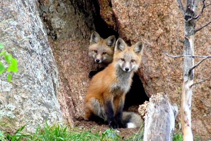 Red Foxes - Marilyn Burton Photography