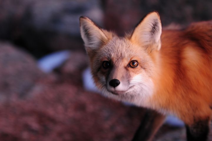 Red Fox at Sunset - Marilyn Burton Photography