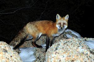 Red Fox - Piercing Eyes