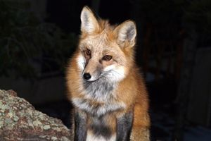 Red Fox in the Dark