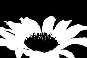 Ash Fork Sunflower