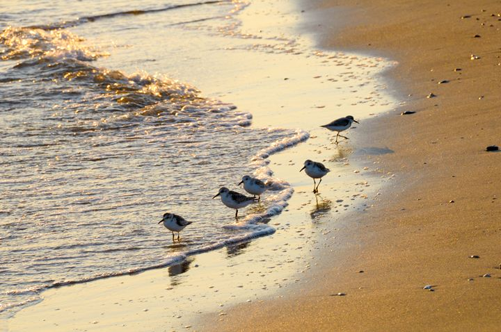 Sand pipers in the surf - Beach People