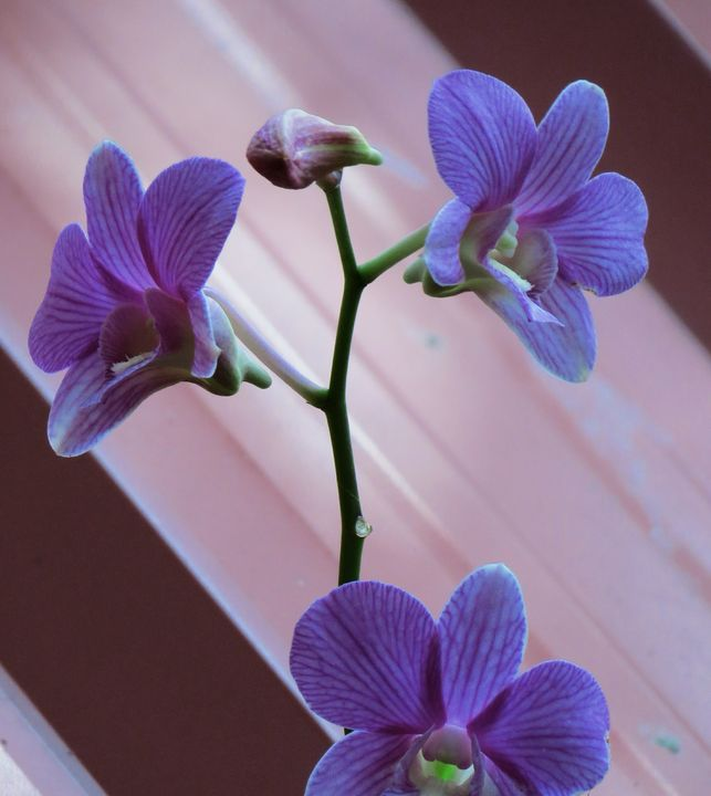 Orchid..1 - gokuleriyat