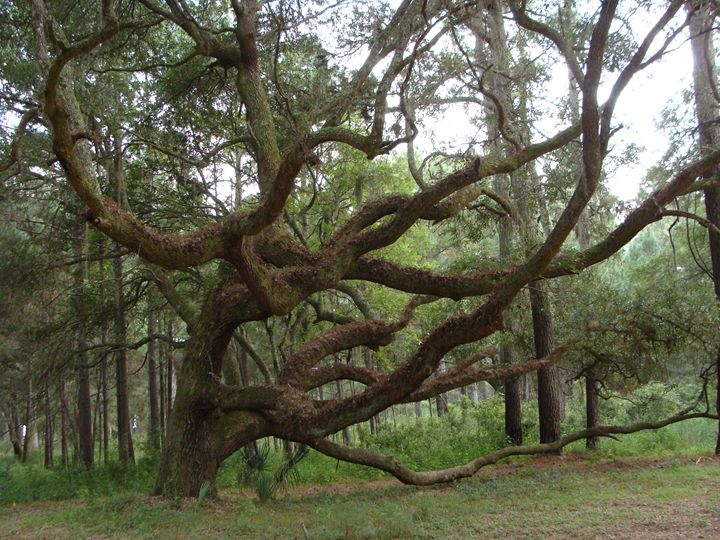 Crooked Tree - CJD