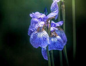 Iris#3