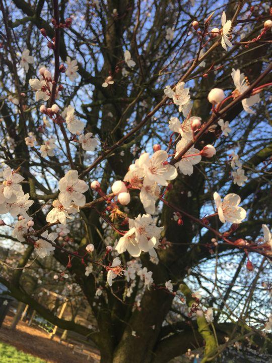 Cherry Blossom - England Photography