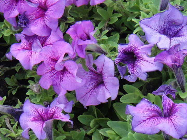 Purple Petunias - Art Arcade
