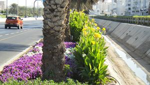Cannas by the roadside