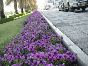 A walkway by the Petunias