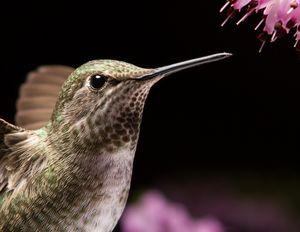 Hummingbird head close up