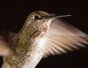 Hummingbird head shot with raindrops
