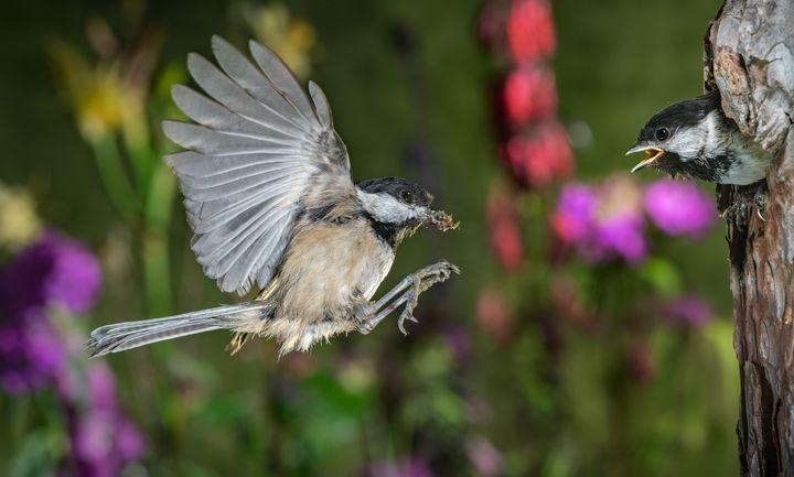 chickadee feeding chicks - Freebilly Photography Portland