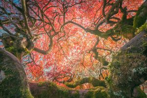 The half century Japanese maple