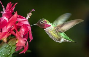Male hummingbird visits pink flowers