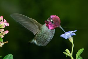 Male hummingbird visits blue flower