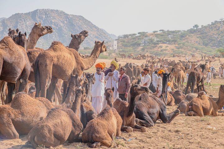 Camel trading at the Pushkar Fair - Nathan Jones