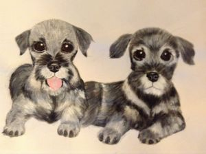 Two playful Schnauzers cuddled toget