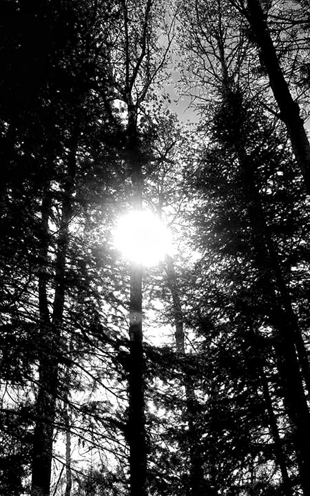 Sun Through Trees (Black & White) - Amber's Amazing Art