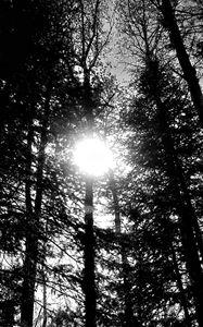 Sun Through Trees (Black & White)
