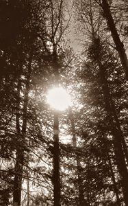 Sun Through Trees (Sepia)