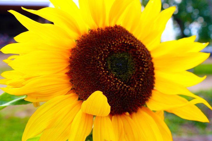 Sun Flower - Mike flynn