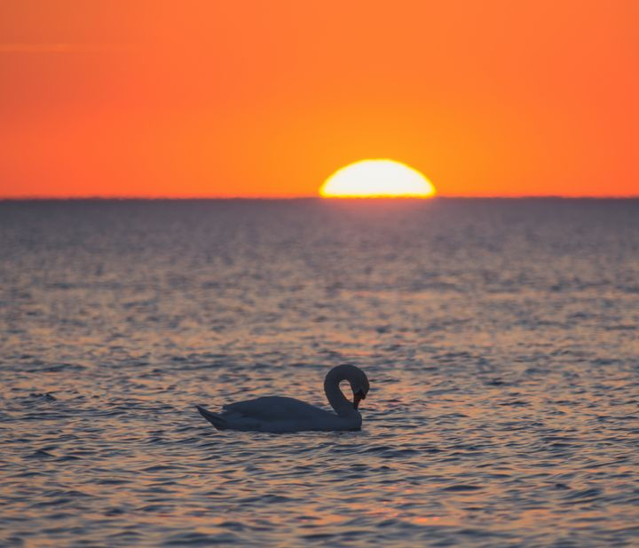 Swan in the sunset - HideMyWall