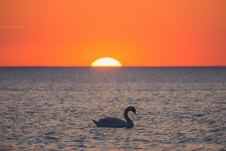 Swan in the evening and sunset - HideMyWall