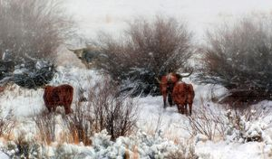 Wyoming Longhorns