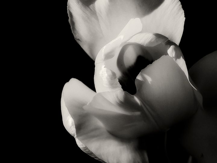 Tulip in Black and White - Kenneth D. Huskey