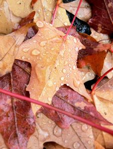 Autumn Leaves with Rain