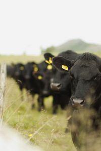 Cows - August Sunde Værnes