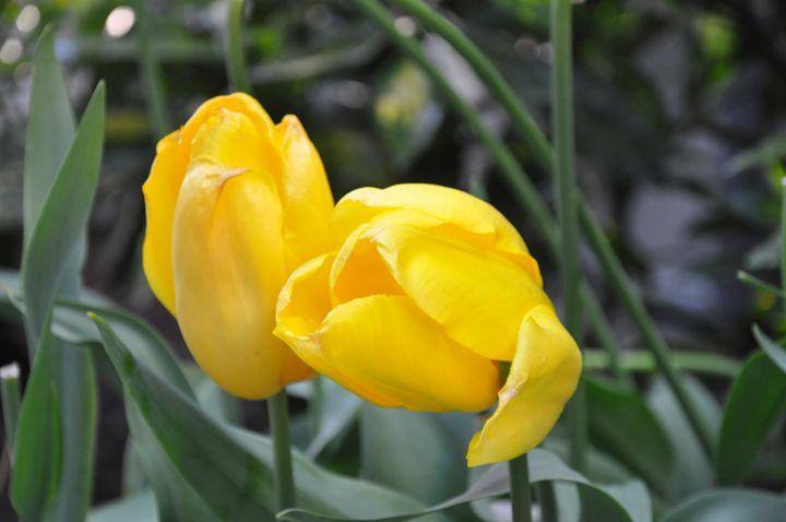 yellow tulips - Layla