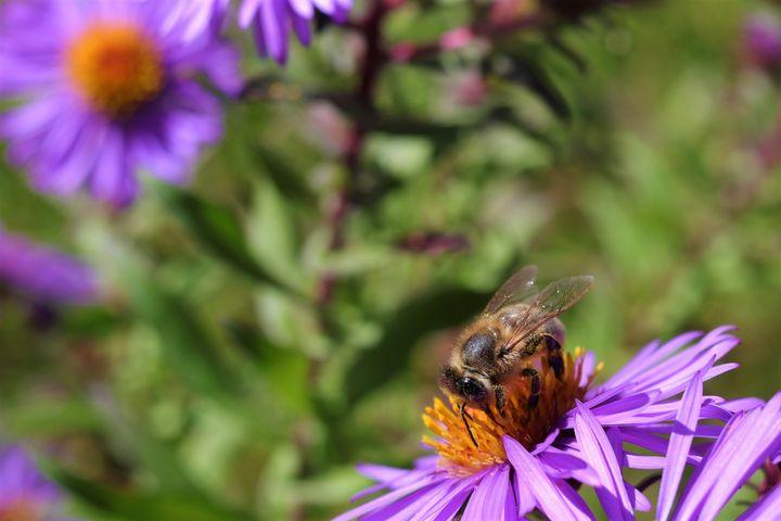 Westbrook Bee - Ryan Halliburton's Photography