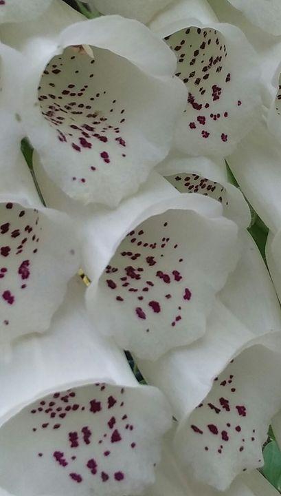 Foxglove White - Melissa