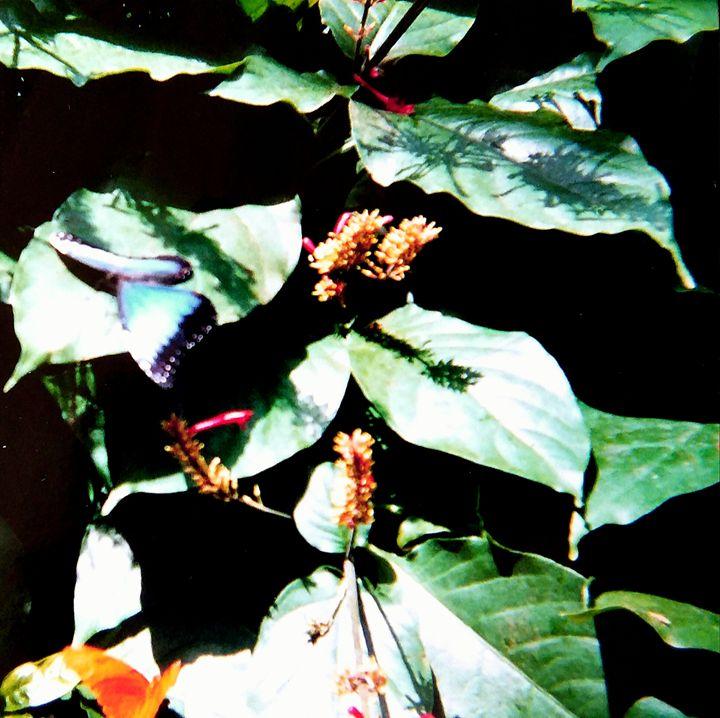 Butterflies - Melissa