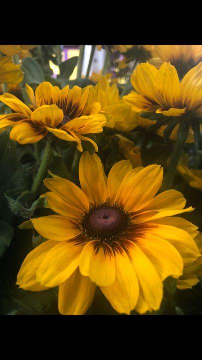 Sunflowers - ChocolateUniverse