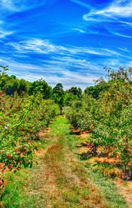Rows of an Orchard