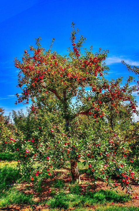 Apple Tree - Bryant Heffernan