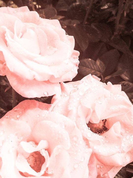 Portland Roses - Zynergy