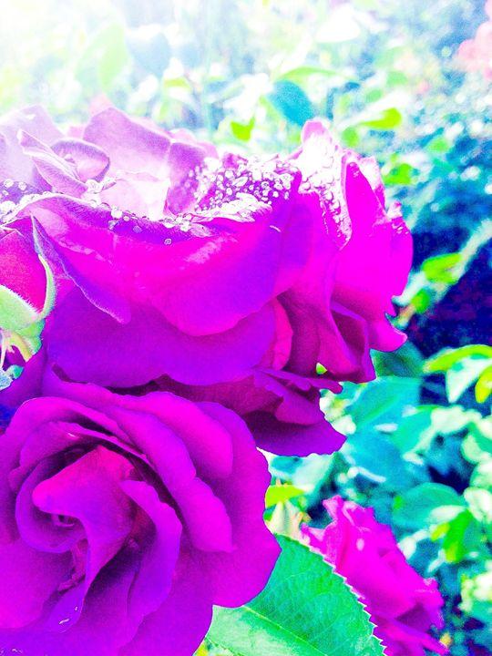 Violet Roses - Zynergy