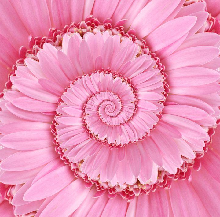 Pink Spiral Gerbera Flower Droste - Kitty Bitty