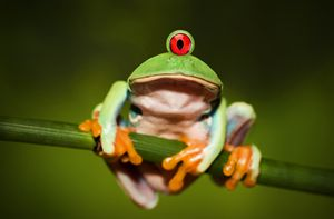Funny Cyclopic Frog