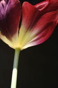 Tulip 01R